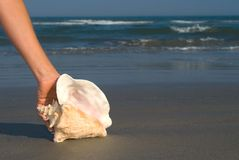 Queen Conch in hand Stock Photo