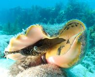 Queen Conch. A Queen Conch on the reef in the Florida Keys Stock Images