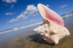 Queen Conch Shell Royalty Free Stock Photos