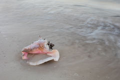 Queen Conch Shell on Beach. A Queen conch shell lays on a Caribbean beach. Conchs are an important fishery throughout the region Stock Photos