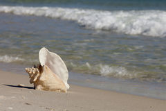 Queen Conch shell on the beach Stock Photos