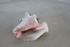 Queen Conch Shell on Sand Stock Image