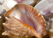 Queen conch shells Stock Photos