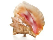 Queen Conch - Strombus sea snail  Stock Photography