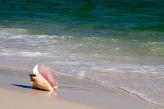 Queen Conch In Surf. Queen conch, also known as a pink conch, lays on a sandy beach with the waves lapping at it Stock Photos