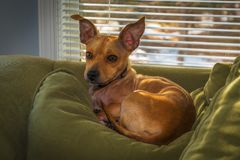 Queen of the Couch. An adorable puppy rests peacefully on a pillow under the warm sunlight shining through a window on a cold winter day royalty free stock photos