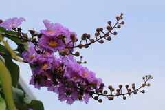 Queen Crapemyrtle,purple flowers blooming in the garden Royalty Free Stock Photography