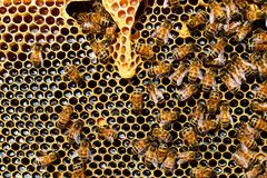 Queen Cup, Honeycomb, Honey Bee Royalty Free Stock Image