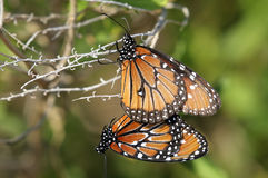 Queen, danaus gilippus Stock Photos
