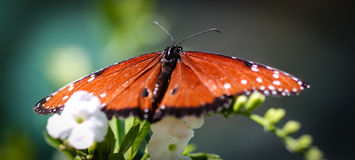 Queen Danaus Gilippus Royalty Free Stock Photos