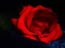 Queen of darkness. Red rose with water drops in darkness Stock Photo