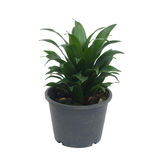 Queen of Dracaenas Royalty Free Stock Photo