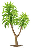 The Queen of Dracaenas plant Royalty Free Stock Photo