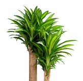 Queen of Dracaenas plant on a white background Royalty Free Stock Photos