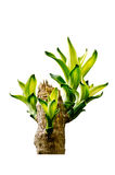 Queen of Dracaenas Stock Image