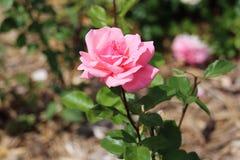 Queen Elizabeth floribunda pink rose regal showy colourful. Bud flower stately variety showy gorgeous stunning stock image