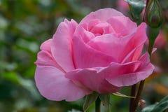 Queen Elizabeth Pink. Queen Elizabeth variety, pink rose flower, blurred background Royalty Free Stock Image