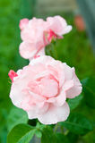 The Queen Elizabeth Rose Stock Photography
