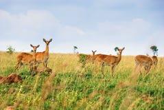 Queen Elizabeth, Uganda. Female antelopes uganda race kob in the Queen Elizabeth national park at dawn, Uganda Royalty Free Stock Image