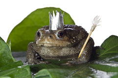 Queen-frog Royalty Free Stock Photos