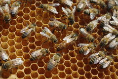 Queen and her worker bees Stock Photos