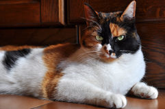 The queen of the house. Tricolor female cat lying in the kitchen Stock Photos