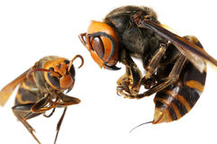 A queen of Japanese giant hornet vs vespa ducalis Stock Image