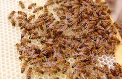 A Queen Laying Eggs on New Brood Frame with Uncapped Honey and Brood Cells. Close up selective focus of a queen bee laying eggs while being attended by worker stock image