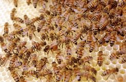 Queen Laying Eggs on New Brood Frame with Uncapped Honey and Brood Cells. Royalty Free Stock Photo