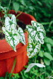 Queen of the Leafy Plants white, green Colocasia esculenta in the pot in Asia Stock Image