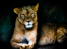 Queen Lioness. Really a queen and a beauty Stock Photography