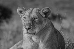 The Queen. Queen of Mara, the lioness sits atop a termite mound looking for its prey and soaking up the sun Royalty Free Stock Images