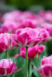 Queen of Marvel tulips Stock Photos
