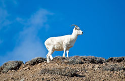 Queen of the Mountain Royalty Free Stock Photography