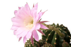 Queen of the Night Cactus Selenicereus grandiflorus Royalty Free Stock Photo