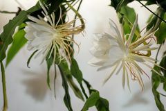 The queen of the night; Dama de Noche; Epiphyllum oxypetalum Species of cactus, plant produces night-blooming, fragrant,. Large white flowers that wither at stock photo