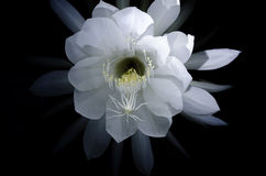 Queen of the night flower Royalty Free Stock Photo