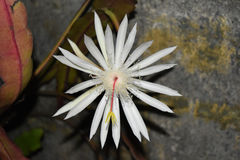 Queen of the night Kadupul. This picture is taken in Attidiya Sri Lanka. This flower call Epiphyllum oxypetalum, Kadupul, Nishagandhi, Cactus Stock Photography