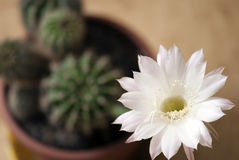 Queen of the night (selenicereus grandiflorus) in a pot Stock Images