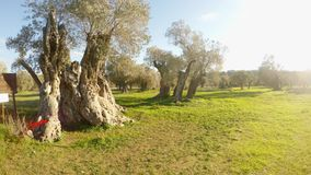 Queen of olive trees, centuries-old tree, planted by King Richard Lionheart, winter landscape in the old garden, under the protect. Ancient Olive Trees, a stock video footage