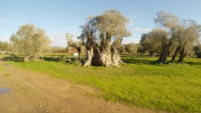 Queen of olive trees, centuries-old tree, planted by King Richard Lionheart, winter landscape in the old garden, under the protect. Ancient Olive Trees, a stock footage