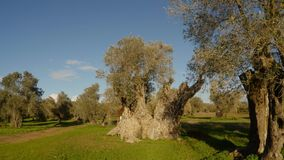 Queen of olive trees, centuries-old tree, planted by King Richard Lionheart, winter landscape in the old garden, under the protect. Ancient Olive Trees, a stock video