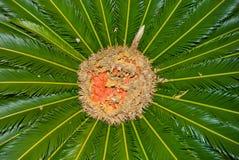 Queen Palm (Cycas  circinalis) Royalty Free Stock Photo