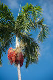Queen Palm with Dates Stock Images
