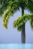 A Queen Palm tree behind an infinity pool.  Royalty Free Stock Photos