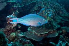 Queen Parrotfish Stock Photo