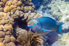 Queen Parrotfish. In Florida Keys Barrier Reef Stock Image