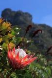 Queen protea Stock Photo