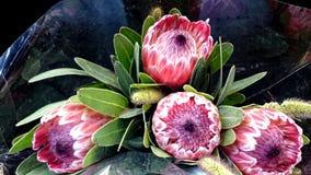 Queen Protea, protea magnifica Stock Image