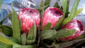 Queen Protea, protea magnifica Stock Images